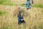 Travailleurs dans les champs de riz, Province de Chiang Rai, Thaïlande