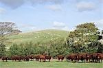 Vaches debout dans la prairie