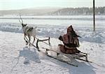 Finland, saami driving reindeer sled
