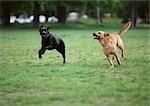 Deux chiens en cours d'exécution sur les pelouses herbeuses.