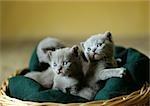 Litter of grey kittens in basket.