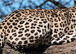 African Leopard (Panthera pardus pardus), cropped view