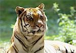 Tigre du Bengale (Panthera tigris tigris) en soleil