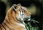 Tigre du Bengale (Panthera tigris tigris), tête et épaules, vue latérale