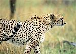 East African Cheetah (Acinonyx jubatus raineyii), side view