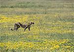 East African Cheetah (Acinonyx jubatus raineyii) standing among yellow wildflowers, full length