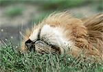 Lion (Panthera leo), rouler dans l'herbe, près de la tête