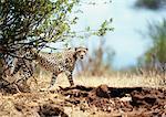 East African Cheetah (Acinonyx jubatus raineyii), Tanzania