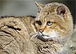 Européen de chat sauvage (Felis silvestris silvestris), gros plan