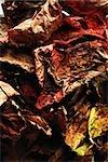Sécher les feuilles de l'automne, close-up, plein cadre
