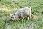 Angora goat grazing in field