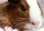 Hamster, très gros plan.