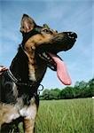 German shepherd, panting.