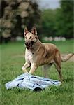 German shepherd, running.
