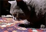 Chat gris sur quilt