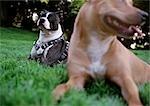Deux chiens pit-bull, assis dans l'herbe