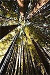 Redwood arbres dans la forêt, promenade menant à ressorts Hamurana, Rotorua, North Island, Nouvelle-Zélande