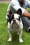 Portrait of French Bulldog