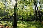 Buchenwald im Frühjahr, Spessart, Bayern, Deutschland
