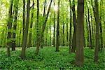 Buchenwald im Frühling, Nationalpark Hainich, Thüringen, Deutschland