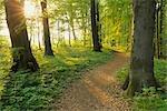Weg durch Buchenwald im Frühling, Nationalpark Hainich, Thüringen, Deutschland