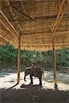 Bébé éléphant, Thai Elephant Conservation Center, Lampang, Province de Lampang, Thaïlande du Nord, Thaïlande