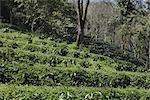 Arabica Coffee Plantation, montagne de Doi Tung, Chiang Rai, la Province Nord de la Thaïlande, Thaïlande