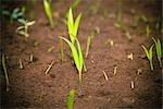 Neue Pflanzen sprießen durch den Boden