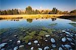 Galets à queue noire Pond, Grand Tetons en arrière-plan, Grand Teton National Park, Wyoming, USA