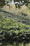Ombrer les plantations de café Arabica cultivés, Doi Tung, Province de Chiang Rai, Thaïlande