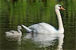 Mute Swan and Cygnet, Bavaria, Germany