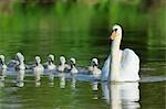 Mute Swan and Cygnets, Bavaria, Germany