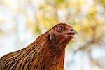 Portait of Ameraucana Heritage Breed of Chicken