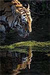 Siberian Tiger Drinking Water