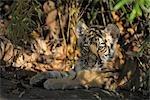 Portrait of Siberian Tiger Cub