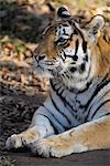 Portrait of Siberian Tiger, Nuremberg, Bavaria, Germany