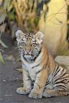 Portrait of Siberian Tiger Cub, Nuremberg, Bavaria, Germany