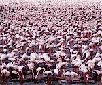 Des dizaines de milliers de flamants (Phoeniconaias minor) bordent les rives du lac Bogoria, se nourrissant d'algues bleu - vert (Spirulina platensis) qui pousse abondamment dans ses eaux chaudes et alcalines.