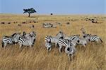 Zèbres de Burchell paître les plaines herbeuses ouvertes dans le Masai Mara.