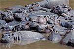 Hippopotames dans la rivière Mara.