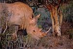 Rhinocéros blanc s'alimentant à Kwandwe private game reserve.
