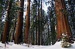 USA,California,Yosemite National Park. Fresh snow fall on Giant Sequoia Trees at Mariposa Grove.