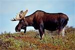 USA,Alaska,Denali National Park. A Moose (Alces alces) grazing in Denali National Park.