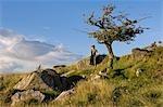 Wales,Conwy,Pentre Foilas. Boy sitting under a hawthorn tree on Gilar Hill farm. .