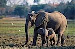 Elephant cow & calf