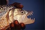 Zambia,Lower Zambesi National Park. A fine tiger fish caught on the Zambezi River - the world's finest fighting freshwater fish.