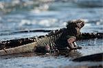 Marine Iguana, aux îles Galapagos, Equateur