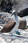 À pattes bleues Booby Isla Espanola, aux îles Galapagos, Equateur
