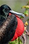 Magnifique oiseau frégate, île Genovesa, aux îles Galapagos