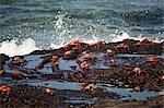 Sally Lightfoot Crabs, Galapagos Islands, Ecuador